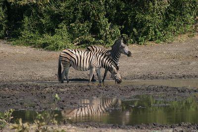 Chobe Game Reserve (Botswana), Zebra watering hole