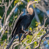 African Darter in Kafue NP, Zambia
