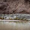 Nile Crocodile in Hwange NP, Zimbabwe
