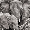 Adult and Juvenile African Elephants in Chobe NP, Botswana - Copper Toning Process