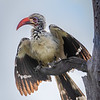 Red-billed Hornbill in Hwange NP, Zimbabwe