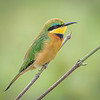 Little Bee-eater in Chobe NP, Botswana