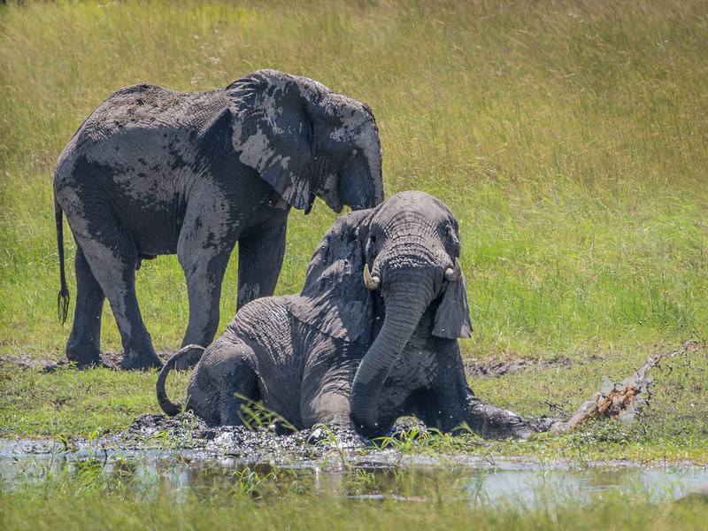 Elephants Mud Bathing in the Okavango Delta, Botswana