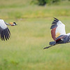Grey Crowned Cranes in Flight, Hwange NP, Zimbabwe