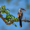Red-billed Hornbill on Branch in Chobe NP, Botswana