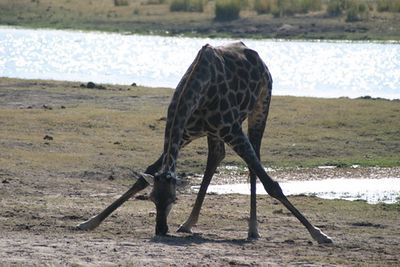 Chobe River, giraffe eating