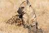 A Spotted Hyena resting in the grass in Linyanti Concession