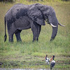 Elephant and Storks in the Okavango Delta, Botswana