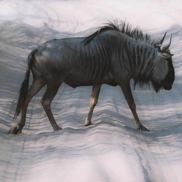 Wildebeeste