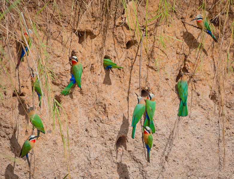 White-fronted Bee-eaters in Mud Holes, Kafue NP, Zambia