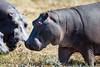 Hippos at Chobe National Park, Botswana