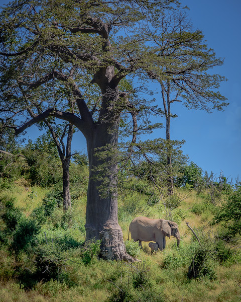 Baobab and Elephants in Chobe NP, Botswana