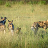 African Wild Dogs (Painted Dogs) in the Okavango Delta, Botswana