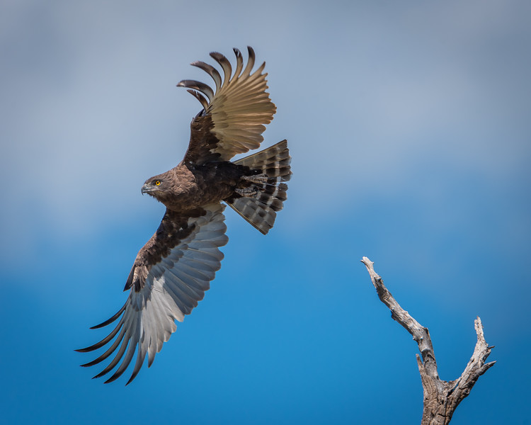 African Brown Snake Eagle Lifting Off  in Chobe NP, Botswana