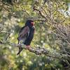 Bataleur Eagle in Kafue NP, Zambia