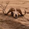 Cape buffalo skull, Hwange National Park, Zimbabwe.