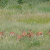 Alpha Male Impala and his Herd of Females in Hwange NP, Zimbabwe