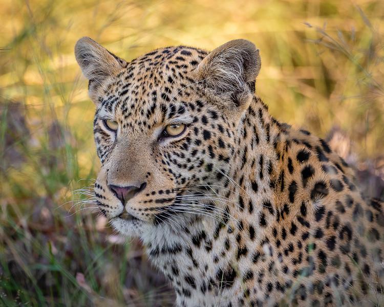 Leopard Gazing, Okavango River Delta, Botswana