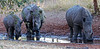 Three of Zambia's White Rhinos; they only have 10 in total