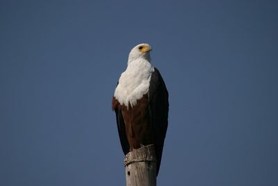 Zambezi River, Fish Eagle
