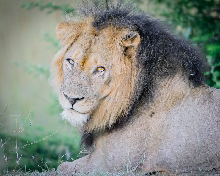 Male Lion in Kafue NP, Zambia