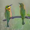 Little Bee-eaters of the Okavango River Delta, Botswana