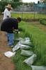 Harvesting herbs.