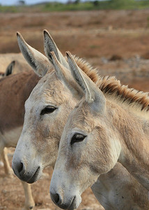 Bonaire donkeys