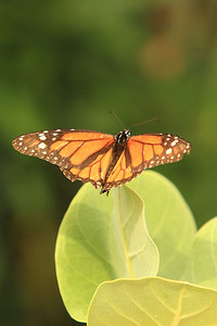 Bonaire Monarch