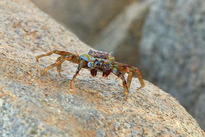 Aruba crab