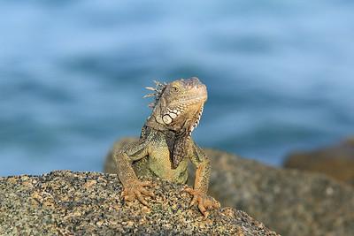 Aruba creature
