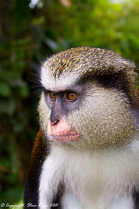 A Mona Monkey in Grand Etang National Park, Grenada.
