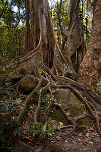 A tree in the rain forest in St. Kitts.