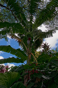 Large banana tree on Romney Manor grounds.