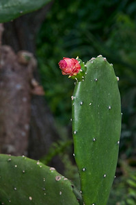 A flowering cactus at Romney Manor.