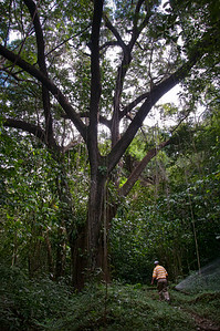 One of the very old trees in the rain forest, all with many hanging vines.