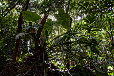 Huge plants along the river in the rain forest.