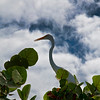 A great white heron in a tree posed near the beach.