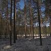 Pine trees growing in wetland around Vaikne lake, Elva city limits.