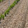 Vineyard treated with sandstone rocks