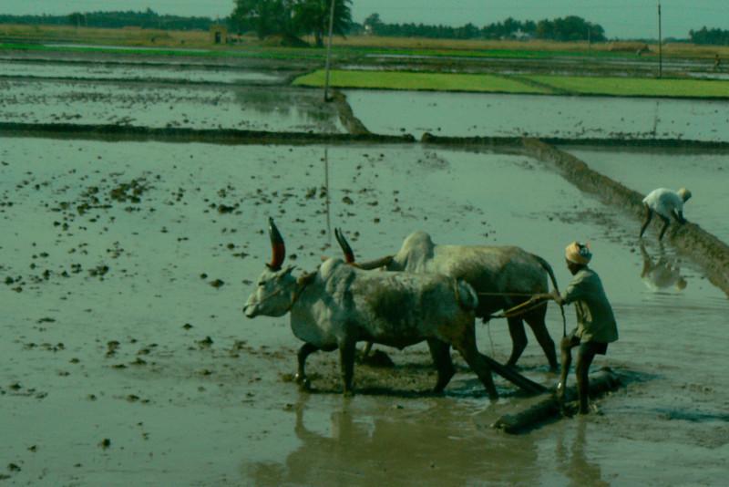 P1020301 Rice Farming Madurai-Periyar Road