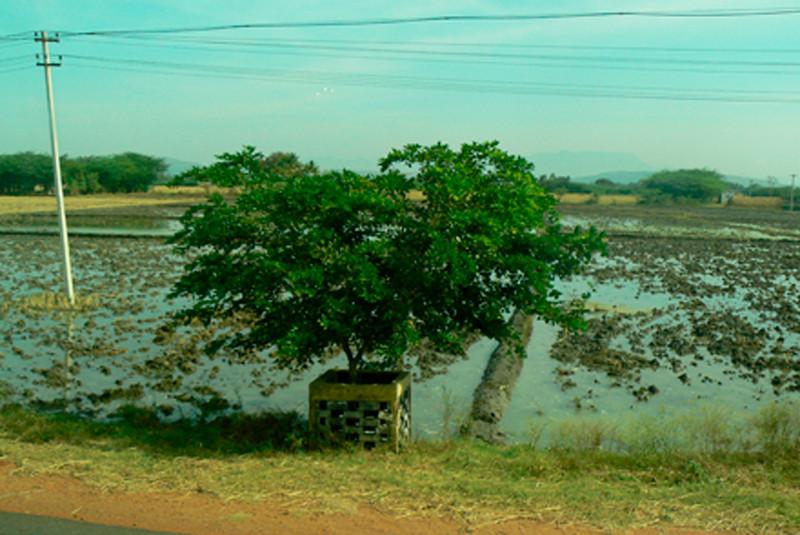P1020302 rice field