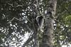 Indri sound clip