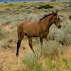 Wild Spanish Mustangs