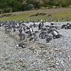 Martillo Island penguin colony, Beagle Channel.
