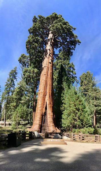 The Sentinel Tree