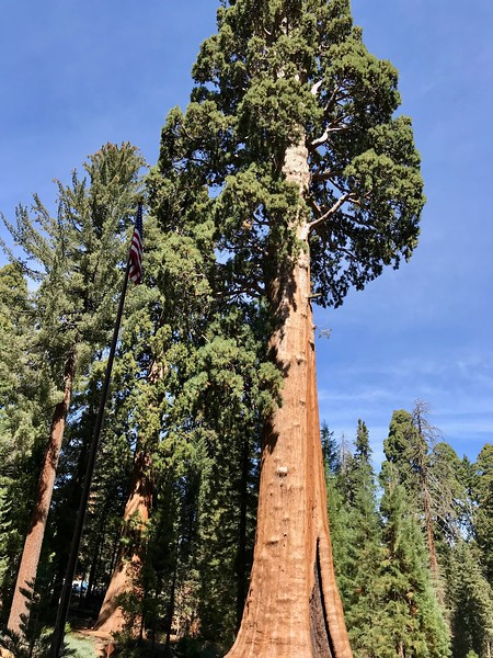 The Sentinel Tree at the Giant Forest Museum