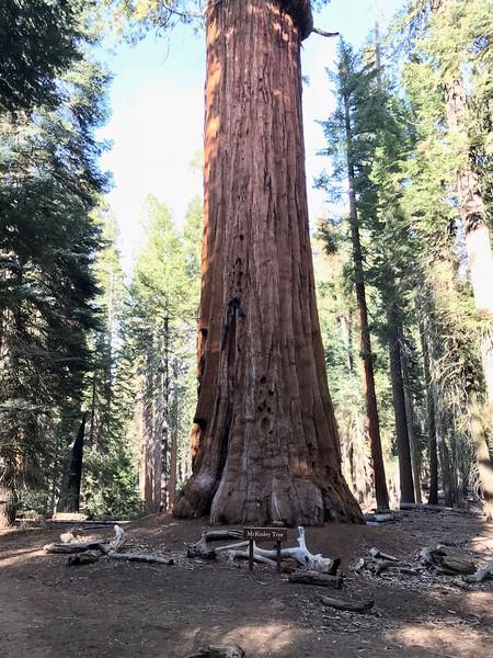 The McKinley Tree