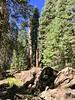 Chimney Tree