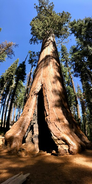 Most Sequoia have fire scars. Fire is needed to free seqoia seeds from their cones.